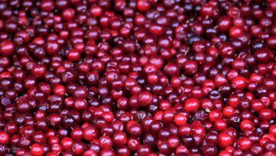 Photo of Cranberries séchées : quand les canneberges offrent un régime de perte de poids