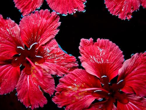 Recette eau rouge brûle graisse : hibiscus.