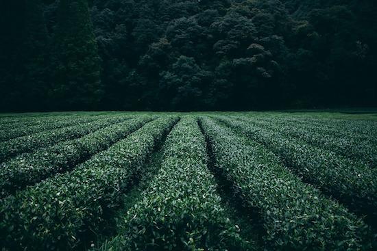 Thé vert brûleur de graisse : récolte.