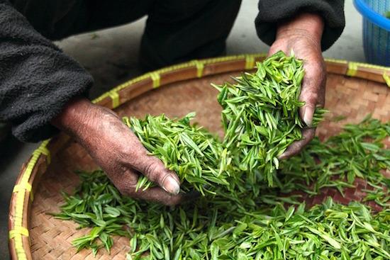 Thé vert brûleur de graisse : la récolte.
